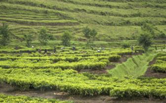 Tea Plantation in Rwanda