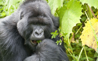 Gorilla Eating Leafs in the National Park