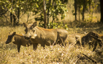 Warthog in Liwonde National Park