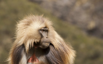 Baboon in the Simien Highlands