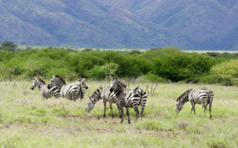 South Arba Minch Zebras Ethiopia