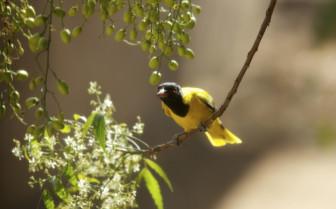 Yellow Oriole Bird