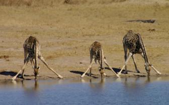 Zimbabwe Giraffes