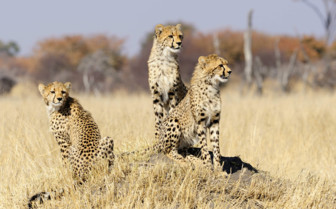 Cheetah Cubs on a Termite Mound