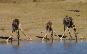 Three Giraffes Drinking from the Watering Hole
