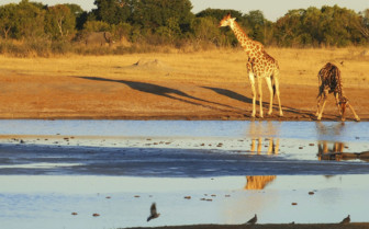 Giraffe at the Watering Hole