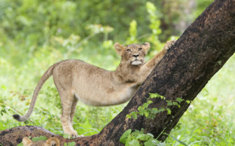 Lion Cub Stretching