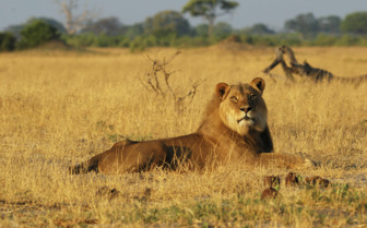 Lion Relaxing in Hwange