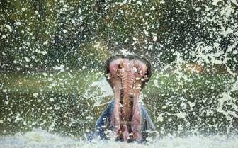 Hippopotamus in Mana Pools