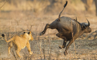Lion Cub Hunting a Buffalo