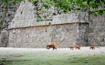 Foxes in Tikal National Park