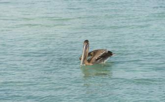 San Blas Pelican