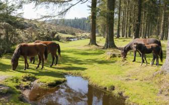 Ponies in Dartmoor National Park