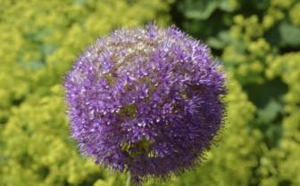 Purple Allium, Eden Project