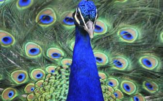 Peacock in the Bodnant Gardens