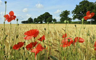 Poppies and Barley in Suffolk