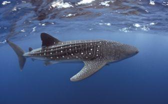 Whaleshark, Yucatan Peninsula