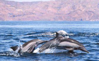 Pod of Dolphins, Baja