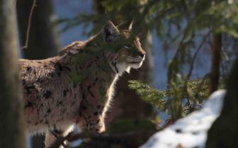 Wildlife Snow, Transylvania