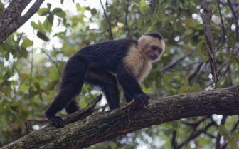 Honduras Monkey