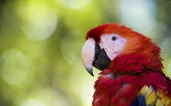 Parrot in Copan, Honduras