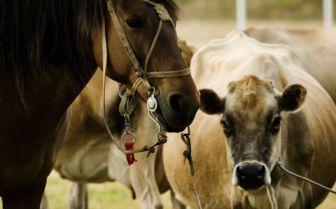 Horses in Uruguay