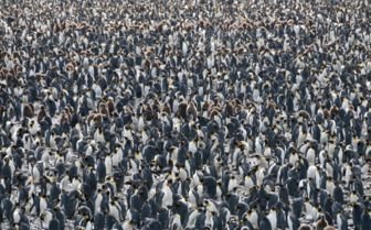 King Penguins, Salisbury Plain