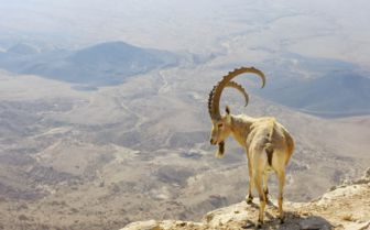 Mountain Goat, Israel