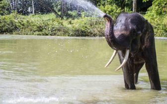 Elephant in Sumatra