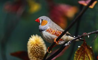 African Finch, Mozambique
