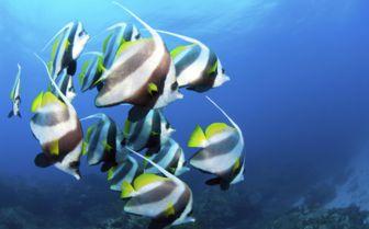 Butterflyfish, Mozambique