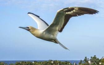 Red footed booby flight