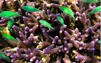 Coral in East Malaysia
