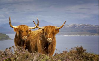 two wild highland cattle