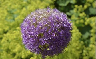 pictured is a purple allium flower, displayed in the Eden Project