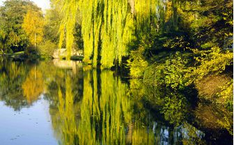 A willow tree on the River Thames