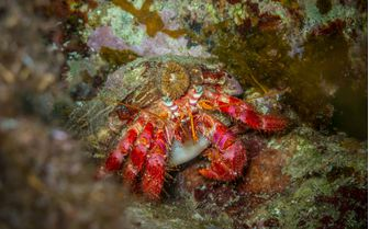 Red hermit crab in Italy