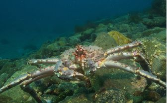 Crab underwater, Norway