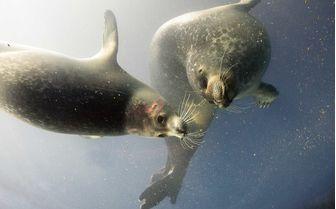 Seals underwater