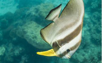 Teira Batfish Underwater