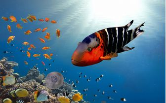 tropical fishes, Red Sea