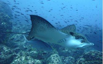 Eagle Ray Underwater