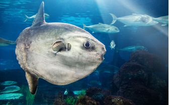 Mola Mola Fish Underwater