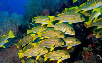 Sweetlips fishes Underwater