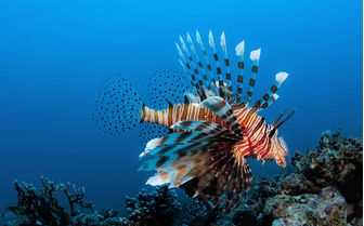 Lionfish Underwater, Madagascar