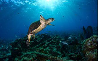 Sea Turtle Underwater, Bahamas