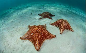 Sea Star, Bahamas