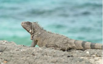 Iguana in Bonaire