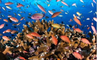 Coral Fishes Underwater