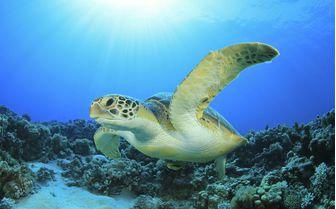 Sea Turtle, Azores